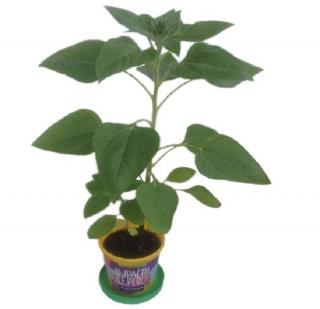 Набор «Вырасти дерево!» подсолнечник купить в Минске +375447651009